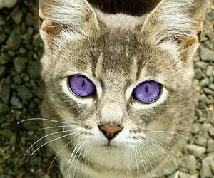 cat, eyes, and purple image