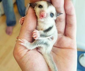 animal, cute, and sugar glider image