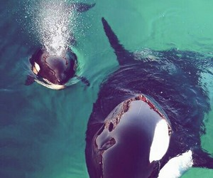 animal, orca, and whale image