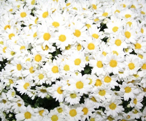 daisy, flor, and margaridas image
