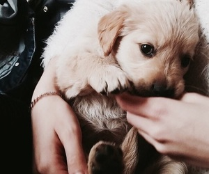 adorable, golden, and puppy image