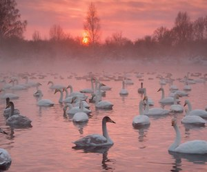Swan, nature, and pink image
