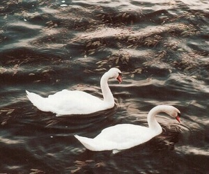 Swan, animal, and nature image