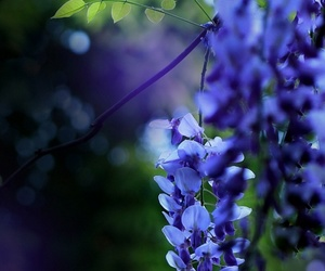 flora and wisteria image