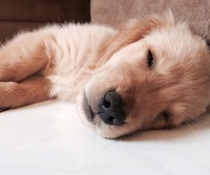 animal, golden retriever, and puppy image