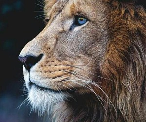 animal, lion, and león image