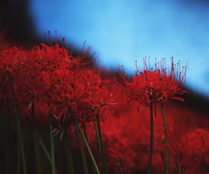 japan, spider lily, and flower image