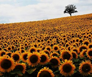 flowers and girasoles image