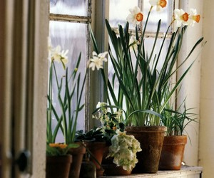 daffodils, flowers, and houseplants image