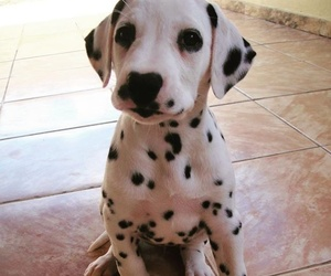 adorable, black and white, and dalmatian image