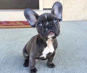 adorable, french bulldog, and cute image
