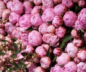 peonies, pink, and flowers image