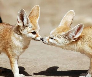 animal, fox, and kiss image