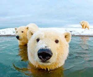 Polar Bear, bear, and animal image