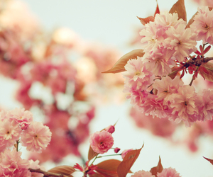 cherry blossom and flower image