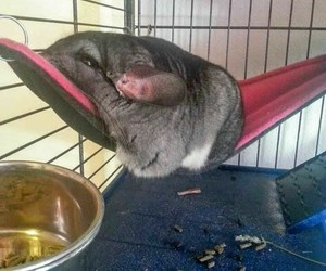 adorable, Chinchilla, and chubby image