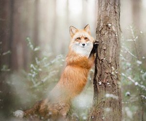 forest, fox, and mountains image