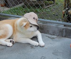 dog, cute, and shiba inu image