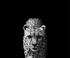 animal, black and white, and cheetah image