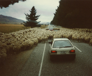 car and sheep image