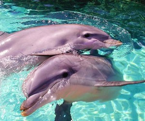 dolphin, animals, and pink image