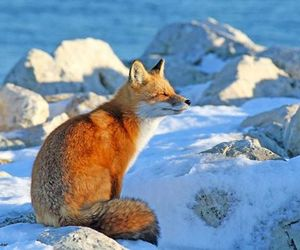 fox, landscape, and nature image