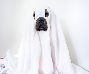 carnaval, cane corso, and dog image