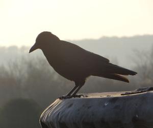 animal, black bird, and crow image