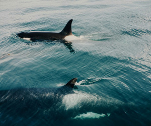 orca, blackfish, and killer+whale image