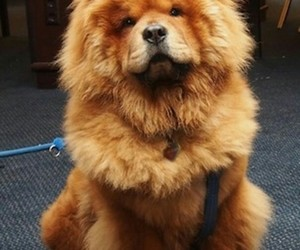 dogs, chowchow, and cute image