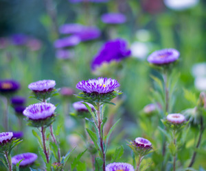 Aster, beautiful, and colorful image