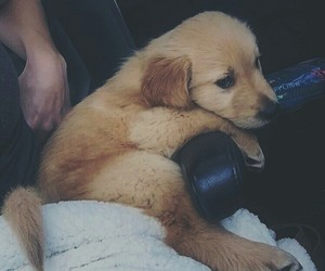 dogs, golden retriever, and puppies image
