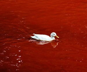 duck, red, and blood image