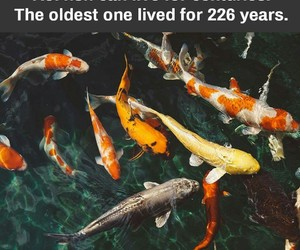 animals, fish, and koi fish image