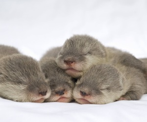 otter, baby, and animal image