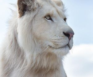 beautiful, lion, and white image