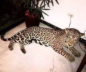 animal, leopard, and luxury image