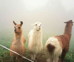 llama and animal image