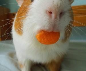 animal, guineapig, and animals image