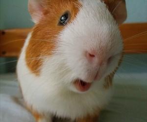 animals, guinea pig, and pet image
