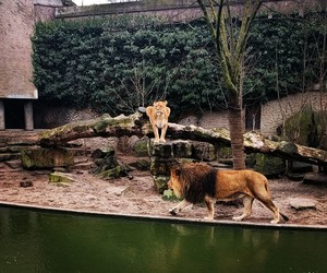 amsterdam, lion, and zoo image