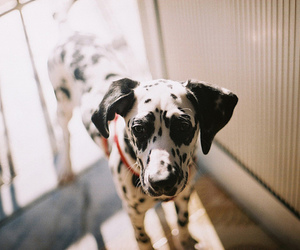 dog, dalmatian, and photography image