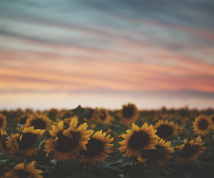 flowers, sunflower, and sky image