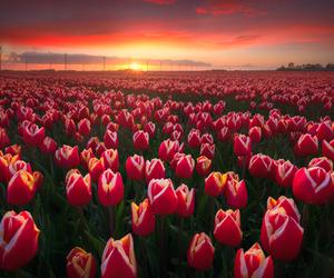 flowers, tulips, and amazing image