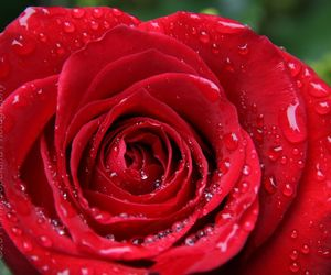 close up, rose, and flower image