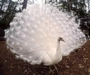 peacock and animal image