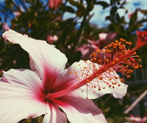 hibiscus, pink flower, and beautiful flower image