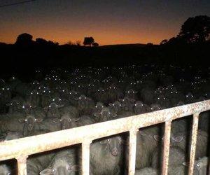 sheep and eyes image