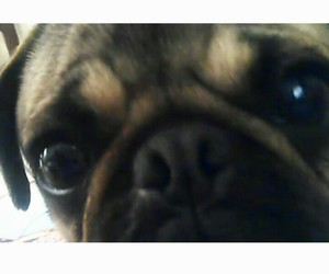pug, hermosa, and perra image
