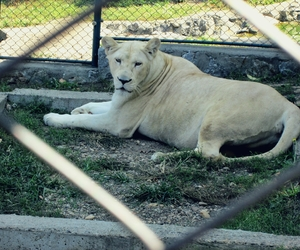 female, animal, and lioness image